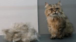Katten Trimmen